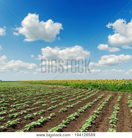spring agriculture field with sunflowers and blue sky