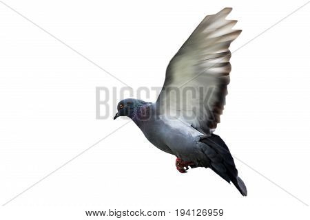 Beautiful Bold Pigeons, City Birds, Wildlife.