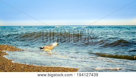gull standing on the shore in sea water holds a fish head in its beak