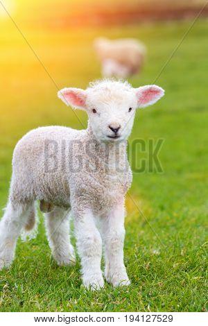 Small cute lamb gambolling in a meadow in England farm