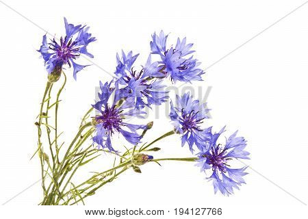 Cornflowers on a white background. Several blue cornflowers close up.