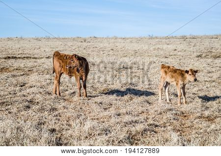 Two brown cows and calf lying down in hay dried grass on field meadow in winter