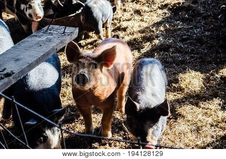Many small baby pigs hogs in farm eating from bucket