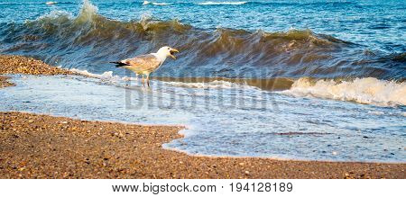 The seagull stands on the seashore with its wide open beak in which is the head of the fish which it is here swallowing