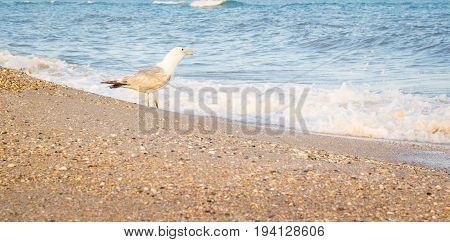 The seagull is standing on the beach open its beak it looks at the water looking out for something
