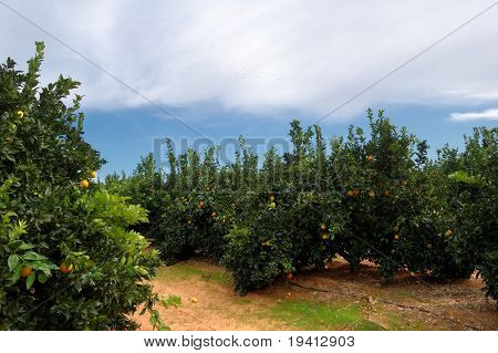 Orange trees plantation with ripe fruits in Spain