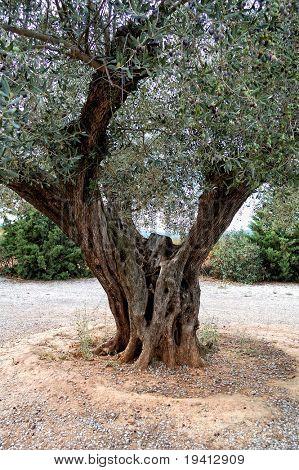 Very old olive tree detail - Spain