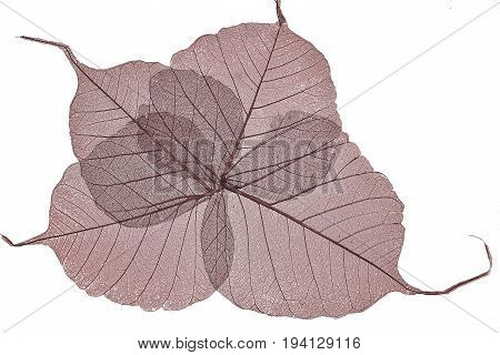 Red dried leaves skeletons close up isolated on a white background - decorating element