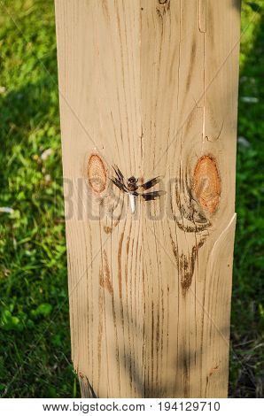 The common whitetail or long-tailed skimmer (Plathemis lydia) double winged dragonfly on wooden post in Virginia