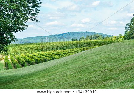 Autumn vineyard hills during summer in Virginia with green landscape