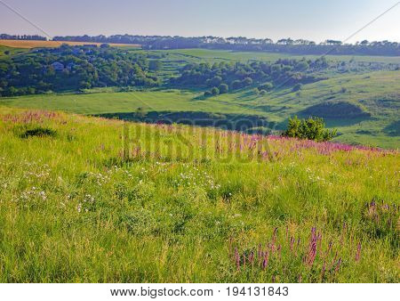 Summer landscape in Ukraine. Rolling green hills with lilac wild flowers near village in morning light forest on the horizon. Natural Photography