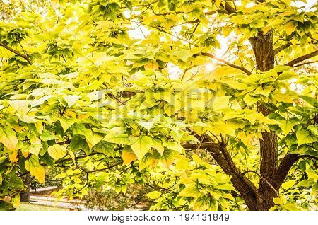 Green and yellow eastern redbud tree leaves in sunlight in autumn season turning orange during sunset with sunburst