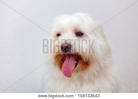 Portratit of a white dog with long hair. Maltese bichon