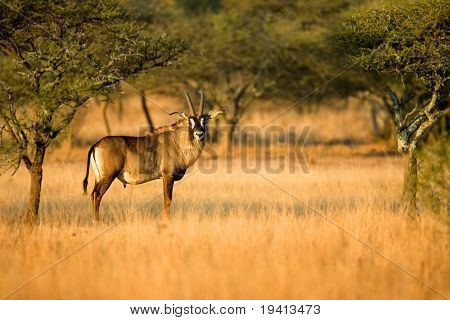 Roan: Hippotragus Equinus: Sudáfrica