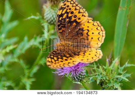 Macro closeup of Great Spangled Fritillary butterfly on pink thistle flower