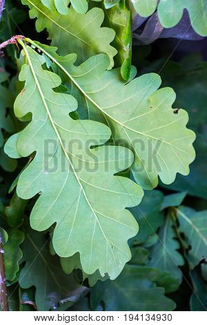 Green oak leaves on a natural background