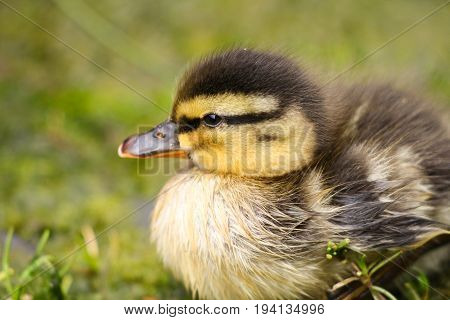 A mallard duckling taking a rest on the riverbank