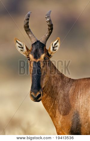 Red Hartebeest : Alcelaphus buselaphus : South Africa poster