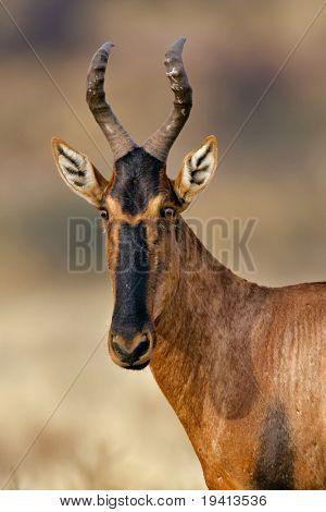 Red Hartebeest : Alcelaphus buselaphus : South Africa