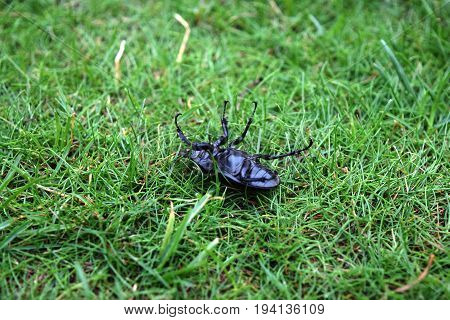 Closeup of common stag beetle female (Lucanus cervus) in natural habitat