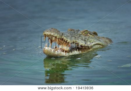 Nile crocodile with fish; crocodylus niloticus; shallow depth of field