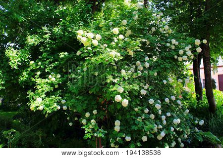 Hydrangea white flowering bush in the garden. Shrubs flowering white caps. Flowers shrubs