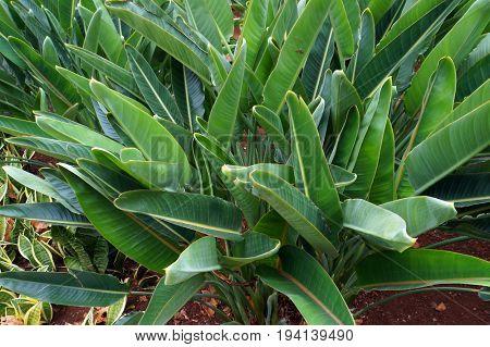 Green leaves of decorative plant Strelitzia reginae.