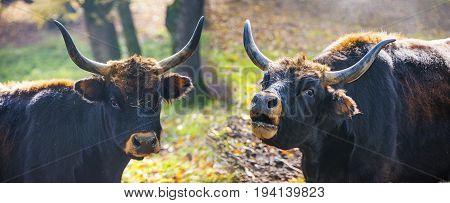 Bos primigenius - aurochs - close up
