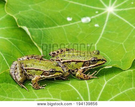 rana esculenta - common european green frogs on a dewy leaf