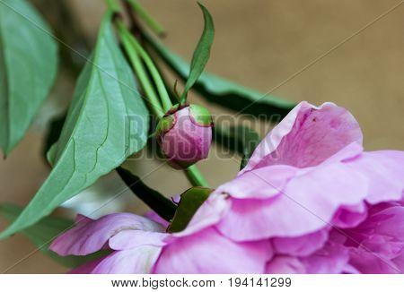 Unblown flower peony. Pink bud. Macro. Rectangular photo.