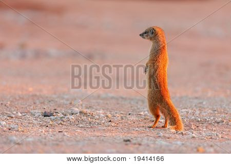 Yellow Mongoose on the lookout ; Cynictis Penicillata
