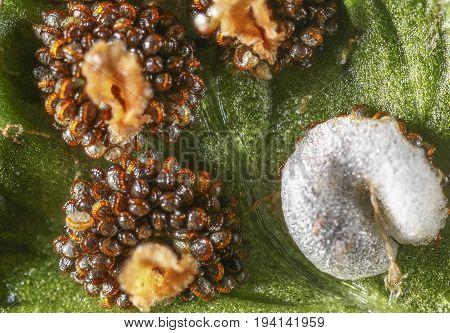 fern spores - Dryopteris filix-mas - macro photography