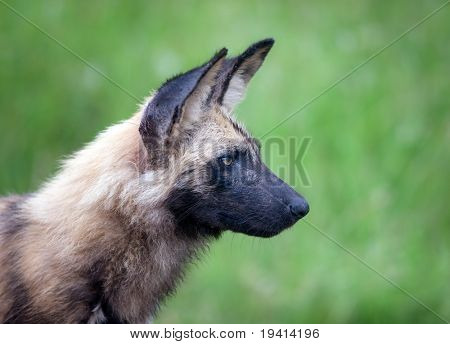 Portrait of a rare Wild dog; Lycaon pictus