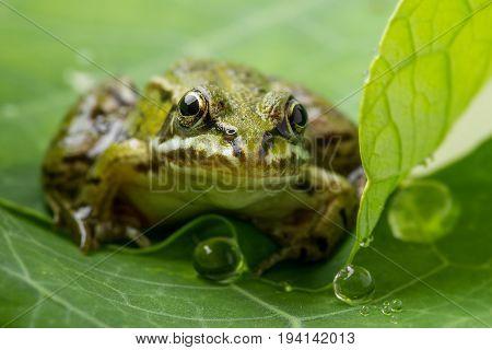 Pelophylax esculentus - frog on a dewy leaf
