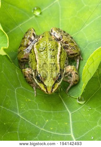 Pelophylax esculentus - common european green frog on a dewy leaf