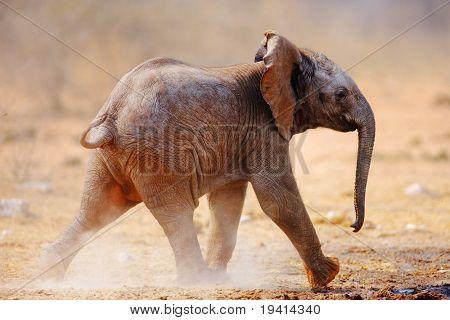 Baby Elephant running over dusty soil; Loxodonta Africana; Etosha
