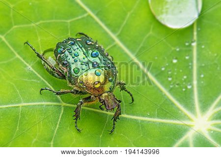 Rose chafer (cetonia aurata) on a dewy leaf