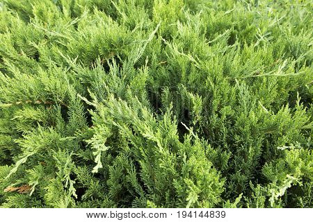 Green background with thuja shrubs growing along the sidewalk
