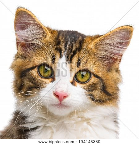 a cute little long haired maine cat