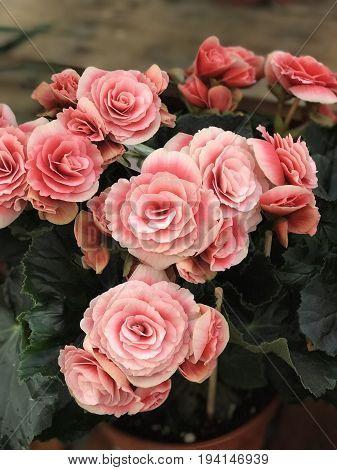 Bouquet de fleurs roses prises en jardinerie