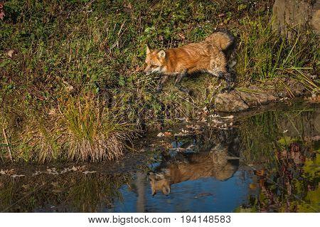 Red Fox (Vulpes vulpes) Runs Along Shoreline - captive animal