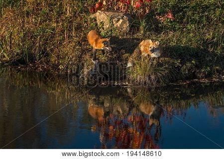 Two Red Fox (Vulpes vulpes) Look Out From Island - captive animal