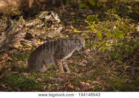 Bobcat (Lynx rufus) Sits on Ground Mouth Open - captive animal