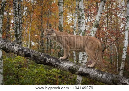 Adult Male Cougar (Puma concolor) Stands on Birch Branch - captive animal