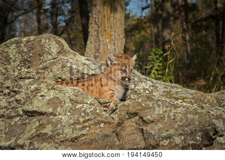 Female Cougar Kitten (Puma concolor) Looks Right From Atop Rocks - captive animal