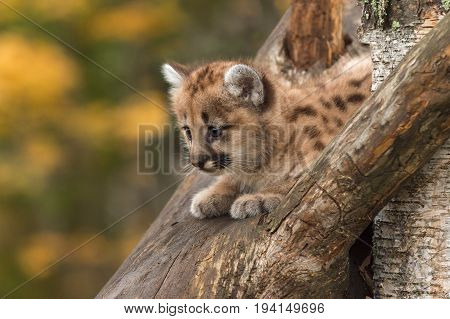 Female Cougar Kitten (Puma concolor) on Tree Branch - captive animal