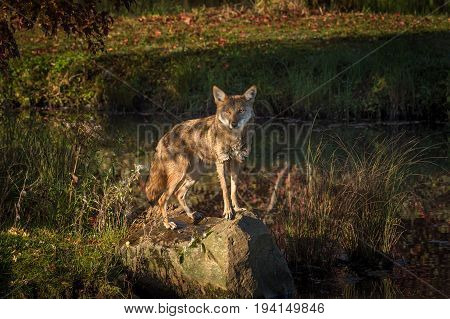 Coyote (Canis latrans) Stares Out From Rock - captive animal