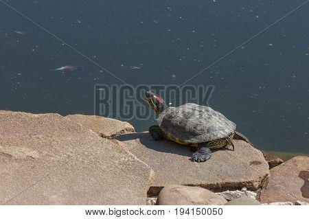 Red eared slider turtle. Trachemys scripta elegans. Close up portrait
