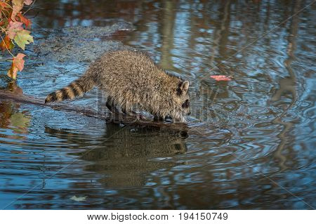 Raccoon (Procyon lotor) Dips Paws Into Pond - captive animal