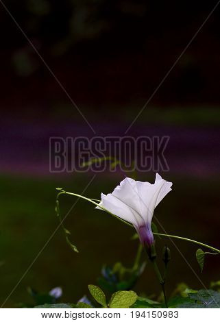 Single morning glory in full bloom, side view with vine tendrils against dark, purple and green background